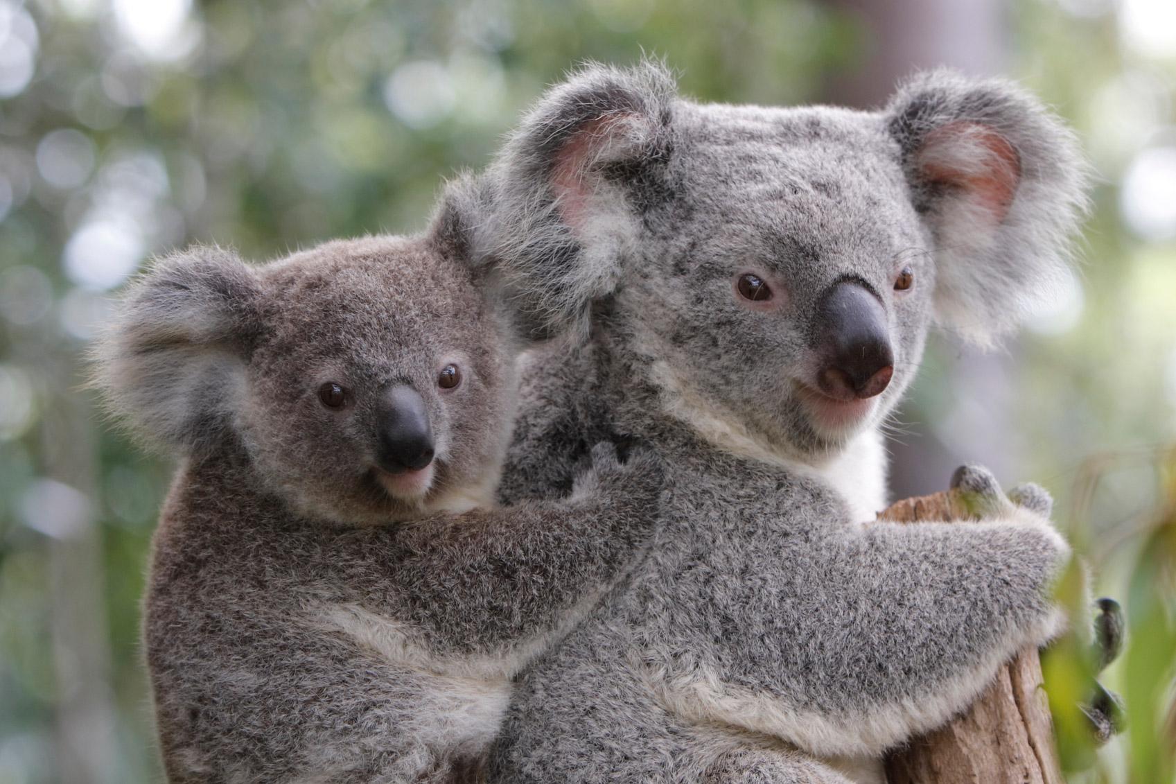 koala-bears