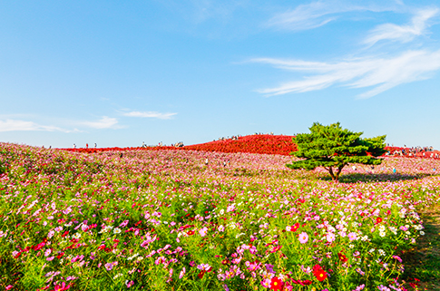 hitachi-seaside-park-scenery-in-japan