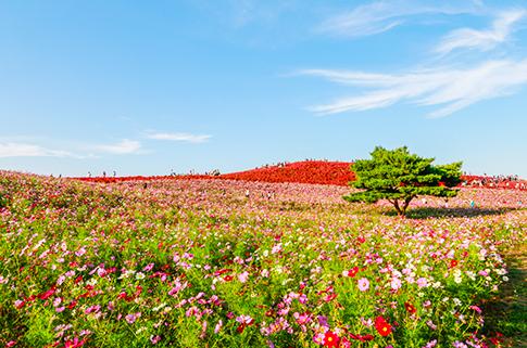 hitachi-seaside-park-scenery-in-japan